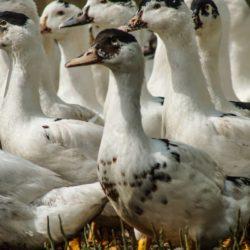 élevage foie gras canard palmagri Langon sud ouest